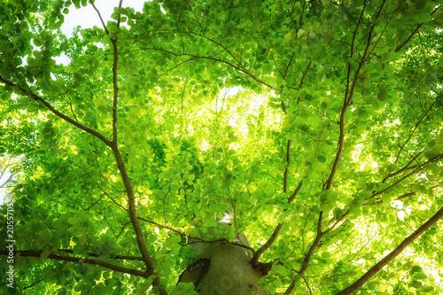 Frische saftig grüne Baumkronen einer Buche
