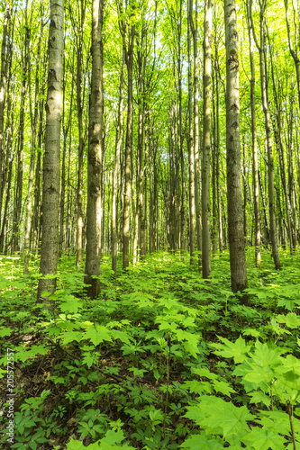 Forest scenery on a sunny spring summer day with grass alive trees and  green leaves at branches at a park botanical outdoor image #205572557
