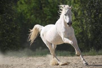 Obraz na płótnie Canvas Weißes Araber Pferd frei laufend