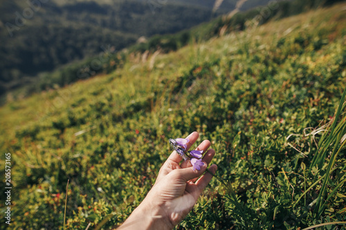 Spoed Foto op Canvas Olijfboom hand holding beautiful bellflower in sunny mountains. hipster girl gathering wildflowers,herbs, holding campanula on background of grass