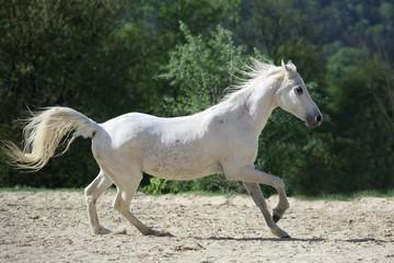 Weßes Araber Pferd frei laufend von rechts