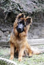 Portrait Of German Shepherd Si...