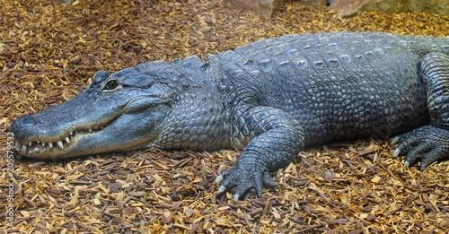 Foto op Aluminium Krokodil crocodile femelle dans son aquarium