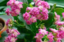 Kalanchoe, Potted Flower Kalan...