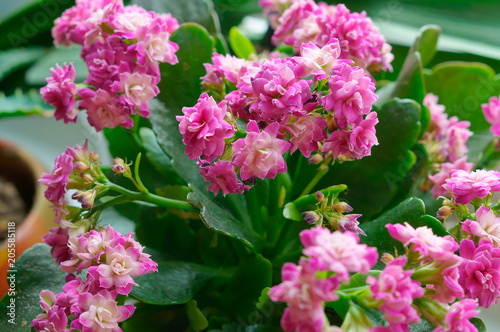 Kalanchoe Potted Flower Plant With Small Pink Flowers And Thick Leaves
