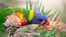 Rainbow Lorikeet (Australian Parrot) Eating Grevillea 'Superb' Nectar (side View)