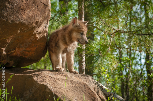 Grey Wolf (Canis lupus) Pup Stands on Den