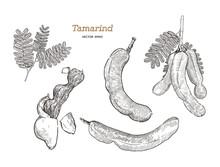 Tamarind Hand Draw Sketch Vect...