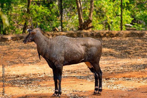 Photo  Awesome close view of Nilgai deer at Indian national park, Visakhapatnam in sunny day
