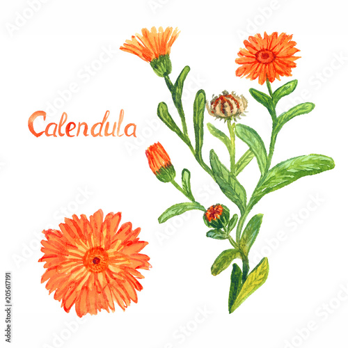 Obraz Calendula stem with flowers and leaves, separate flower, isolated on white background hand painted watercolor illustration with inscription - fototapety do salonu
