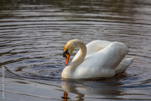 In de dag Zwaan A Beautiful white swan swimming and feeting in the river in spring. Bird portrait in landscape.
