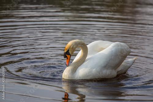 Foto op Plexiglas Zwaan A Beautiful white swan swimming and feeting in the river in spring. Bird portrait in landscape.
