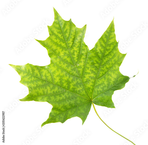 Norway maple leaf with interveinal chlorosis isolated on white background