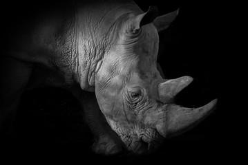 Nashorn in schwarz- weiß