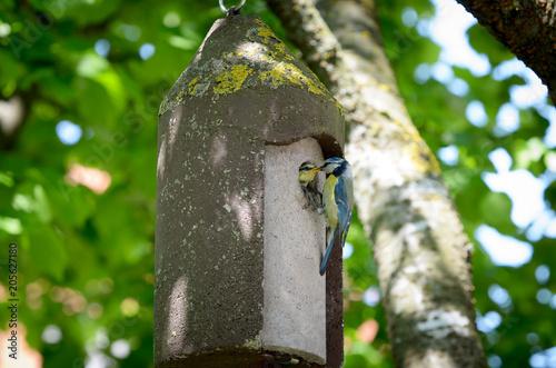 Fototapeta premium Nistkasten einer Blaumeise (Parus caeruleus)