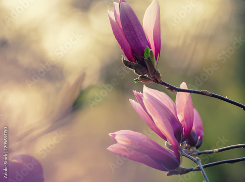 Photo Stands Bird Blossoming of pink magnolia flowers in spring time, floral natural background