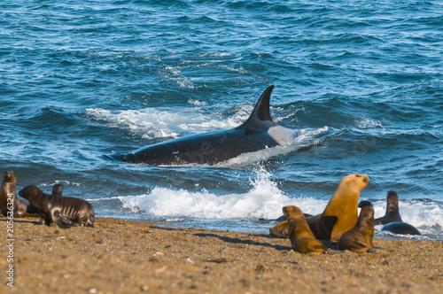 Obraz premium Orca hunt sea lions, Patagonia , Argentina
