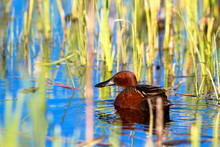 Male Cinnamon Teal Swims In Bl...