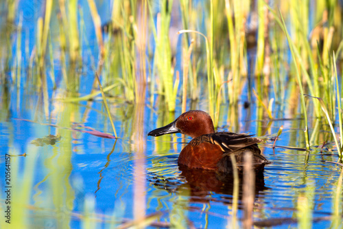Male Cinnamon Teal swims in blue water amid emergent marsh grasses at Alamosa National Wildlife Refuge in southern Colorado