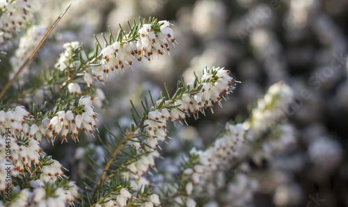 Fotobehang Macrofotografie Close up Wild white and pink heather, outdoors macro