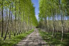 Long Avenue Between Birch Trees