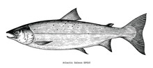 Atlantic Salmon Hand Drawing Engraving Style