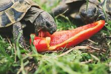 Tortoise Eating Red Bell Pepper Outside