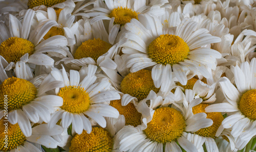 Foto op Canvas Madeliefjes White daisy flowers