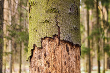 Trunk Of Spruce With Exfoliating Bark. Diseased Tree Damaged By Bark Beetle