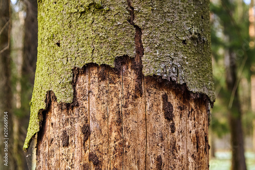 Photo Trunk of spruce with exfoliating bark