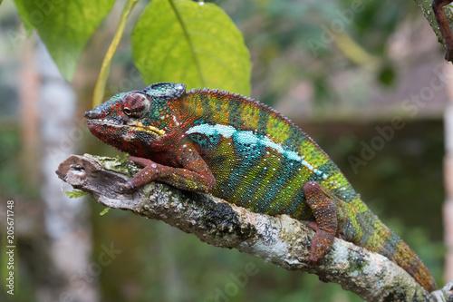 Staande foto Kameleon Chameleon in the primeval forests of the Andasibe National Park, Eastern Madagascar
