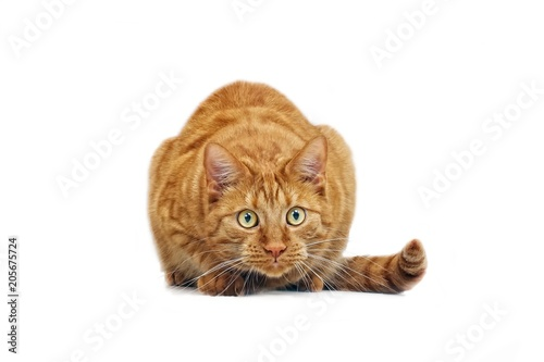 Ginger cat in ambush - isolated on white background. Wallpaper Mural