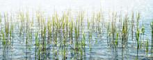 Schilfgras Am Ufer