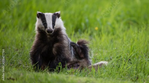 Badger scratching his side Canvas Print