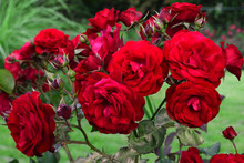 Red Roses. A Bush Of Bard Roses In The Park. Roses For Weddings And Celebrations. Luxury Flowers In The Nature