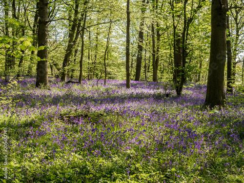 Foto auf Gartenposter Wald Beautiful spring bluebells in amazing sunshine at Spring Wood near Burnley, Lancashire, UK