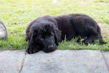 Purebred Black Newfoundland Puppy Laying On The Grass