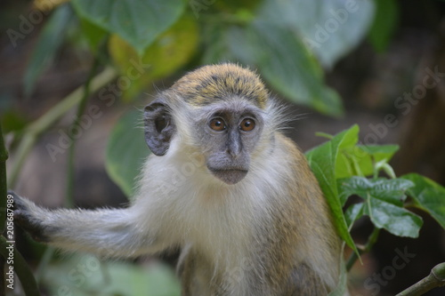 Barbados Monkeys Poster