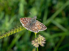 Grizzled Skipper, Pyrgus Malvae Butterfly At Rest.