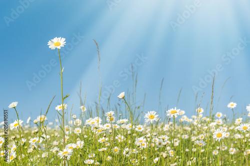 Foto op Plexiglas Landschappen Leuchtend bunte Margeriten Blumenwiese unter perfektem blauen Himmel im warmen Sonnenlicht