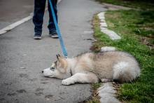 Stubborn Husky Puppy Lying On ...