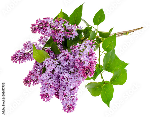 Fotobehang Lilac Lilac branch isolated on white background