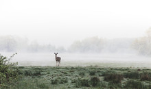 Deer Standing In A Foggy Grassy Field