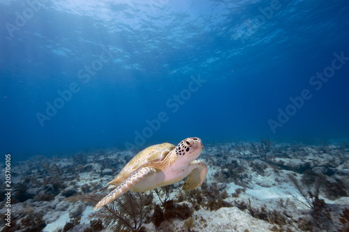 Valokuva Green Sea Turtle (Florida Keys, US)