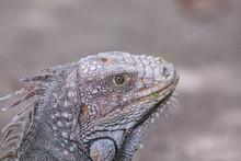 Iguana, Tropical Animal Costa Rica