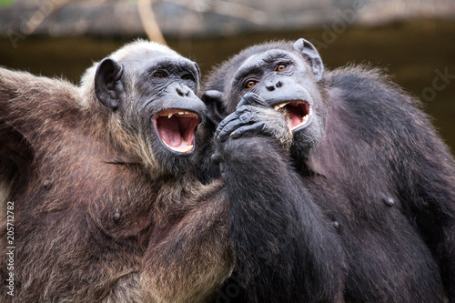 Common Chimpanzee sitting next in love. Fototapet