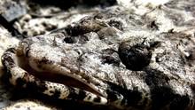 Fish Crocodile On The Sandy Bo...