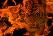 Blazzing Tiger Over Black Back...