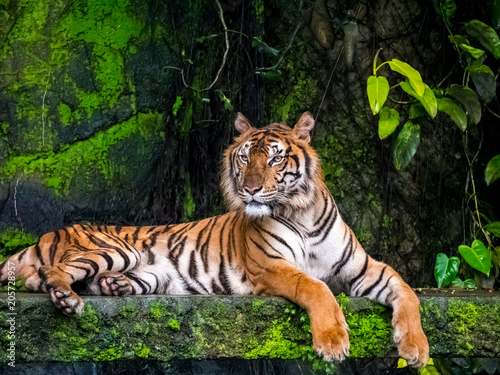 Canvas-taulu Beautiful Bengal tiger, queen tiger in forest show action nature.