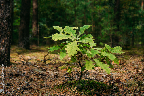 Young oak sprout